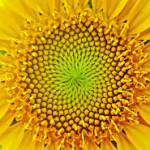 gult-blom