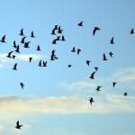 Fuglar-á-flugi