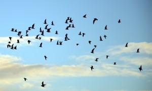 fuglar-a-flugi